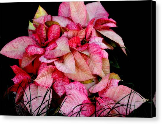 Poinsettia Canvas Print by Lyle  Huisken