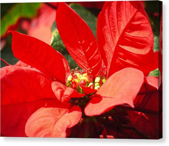 Poinsettia Canvas Print by Mary Lane