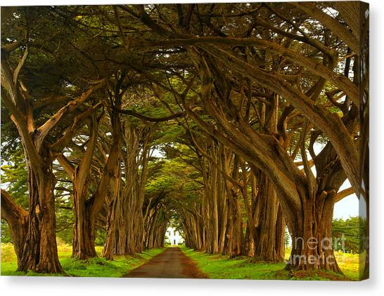Point Reyes Cypress Tunnel Canvas Print