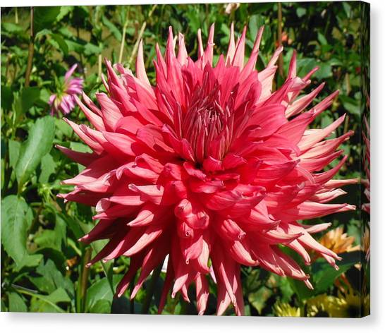 Pointed Pink Dahlia  Canvas Print