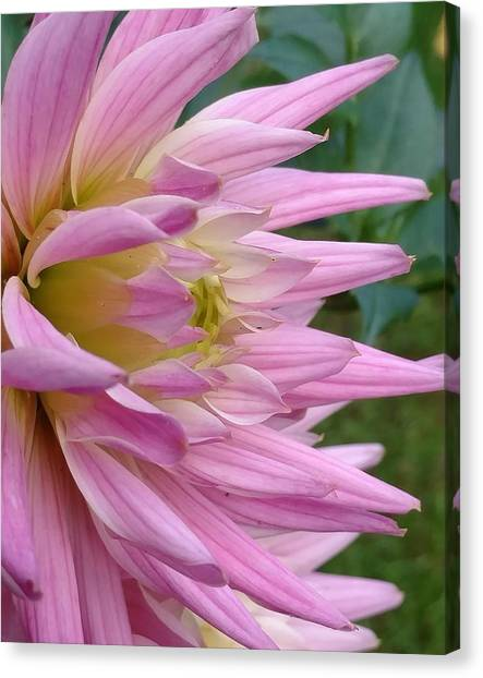Poised Dahlia Canvas Print by Frederick Messner