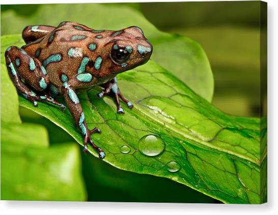 Frogs Canvas Print - poison art frog Panama by Dirk Ercken