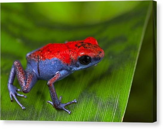 Frogs Canvas Print - poison dart frog Escudo by Dirk Ercken