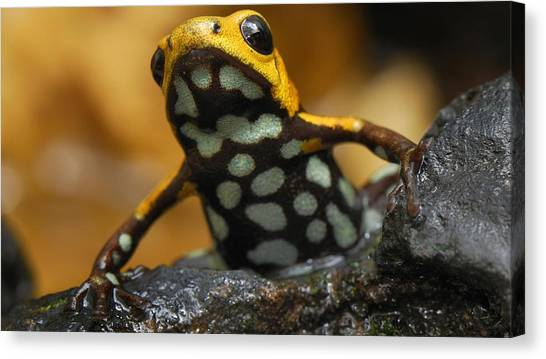 Salamanders Canvas Print - Poison Dart Frog by Jackie Russo