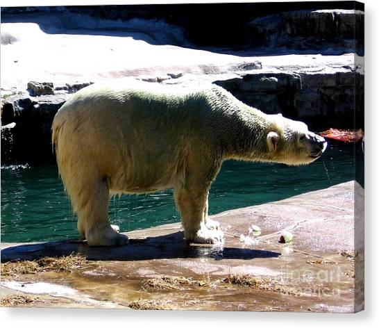 Canvas Print featuring the photograph Polar Bear 3 by Rose Santuci-Sofranko