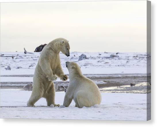 Polar Bear Play-fighting Canvas Print