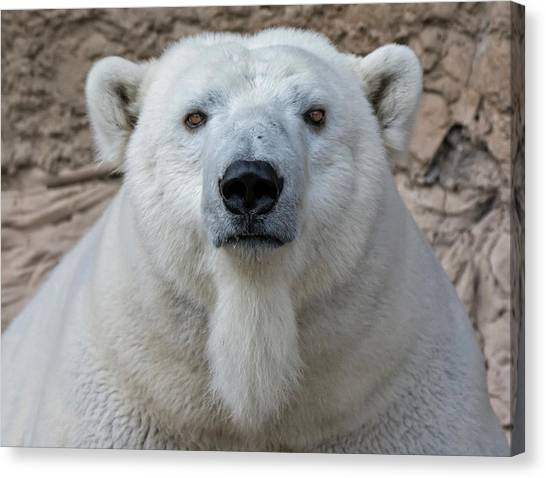 Canvas Print featuring the photograph Polar Bear by Rand
