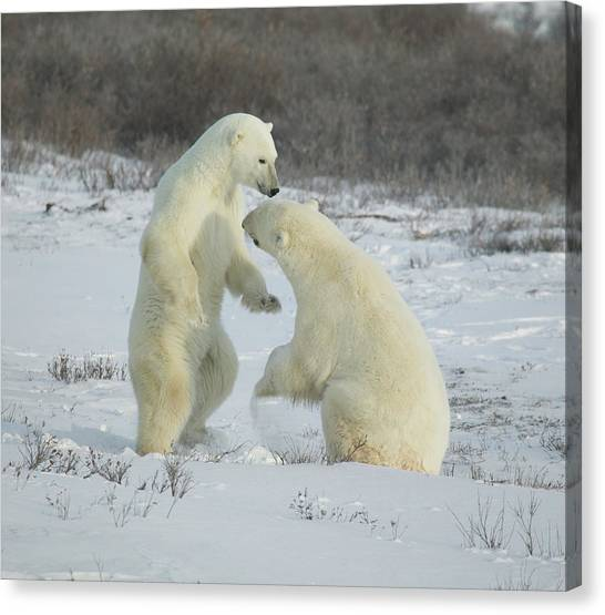 Polar Bears Jousting Canvas Print