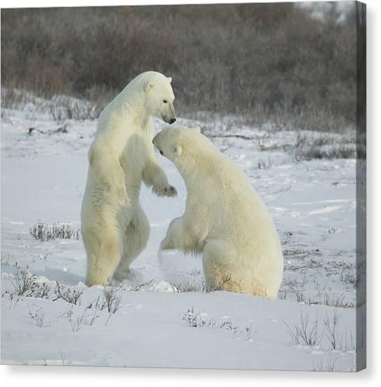 Polar Bears Jousting Canvas Print