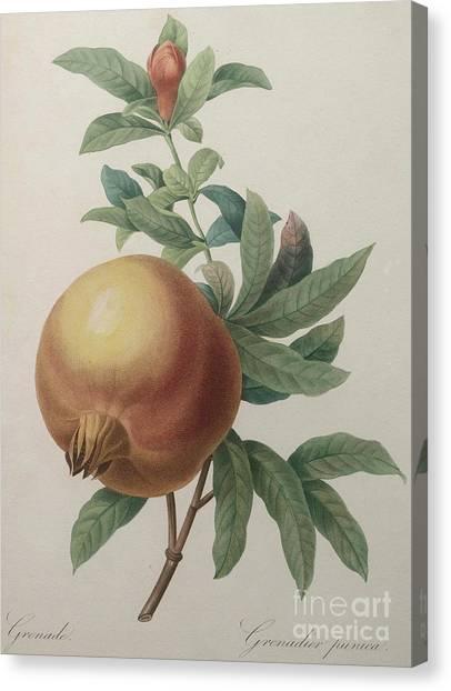 Pom-pom Canvas Print - Pomegranate by Pierre Joseph Redoute