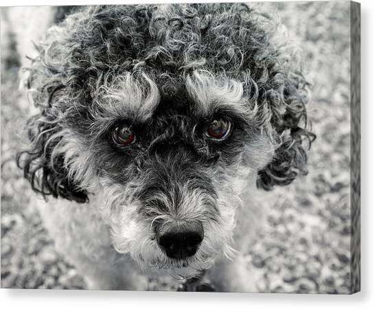 Poodle Eyes Canvas Print