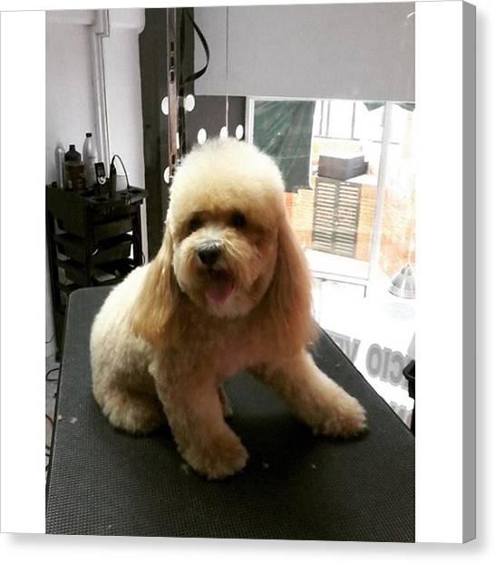 Schnauzers Canvas Print - Poodle  #doggrooming #groomer by Jonas Seijas