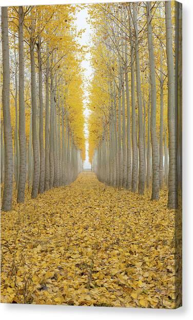 Poplar Tree Farm One Foggy Morning In Fall Season Canvas Print