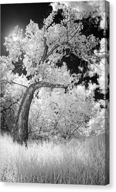 Poplars Under The Sun Canvas Print