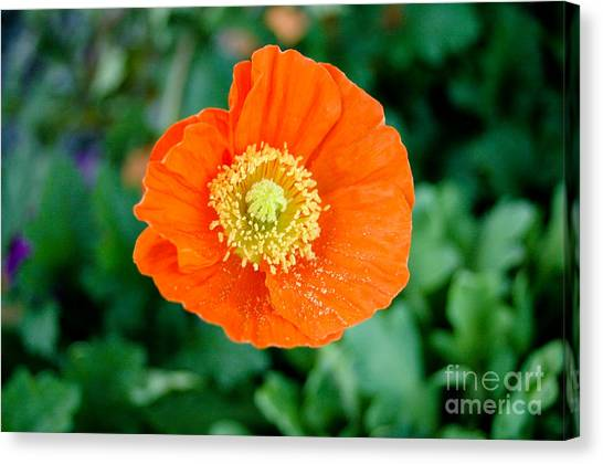 Poppie Canvas Print by Maureen Norcross