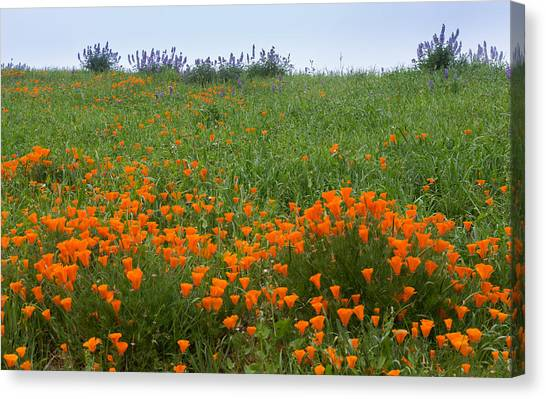 Contra Canvas Print - Poppies And Lupine by Marc Crumpler