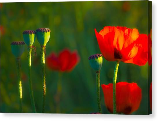 Poppies In Evening Light Canvas Print