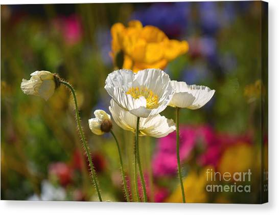 Poppies In The Spring Canvas Print