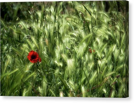 Poppies In Wheat Canvas Print
