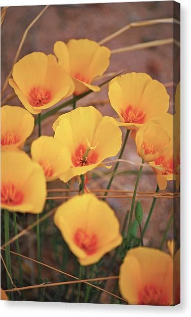 Poppies On Mount Lemmon Canvas Print