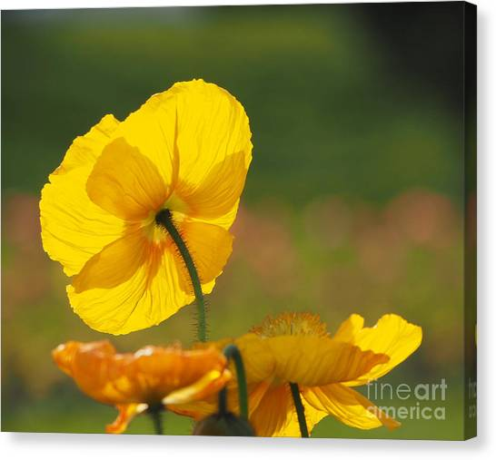 Poppies Seeking The Light Canvas Print