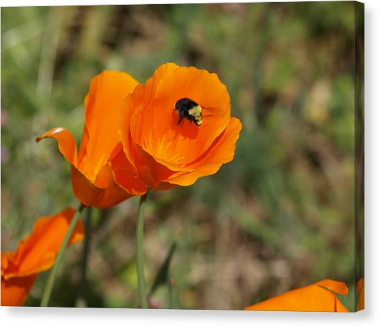 Poppy Beeing Admired Canvas Print by Laura Allenby