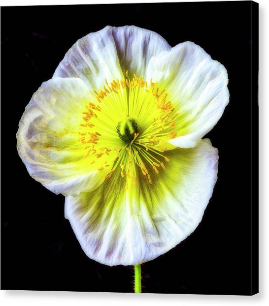 Iceland Poppies Canvas Prints (Page #2 of 13) | Fine Art America