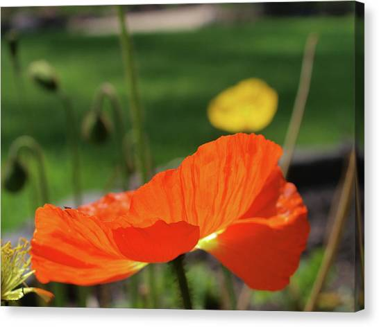 Poppy Cup Canvas Print