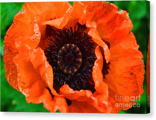 Poppy Happening Canvas Print by Diane E Berry