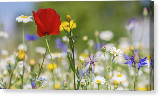Poppy In Meadow  Canvas Print