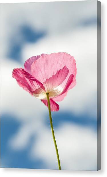 Poppy In The Clouds Canvas Print