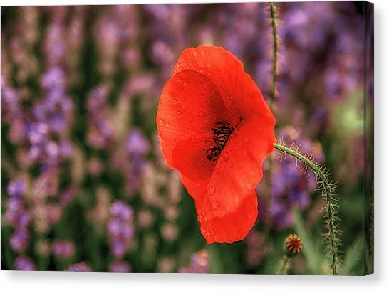 Poppy In The Lavender Field Canvas Print