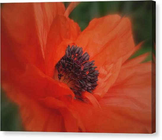Poppy Love Canvas Print by Martin Morehead