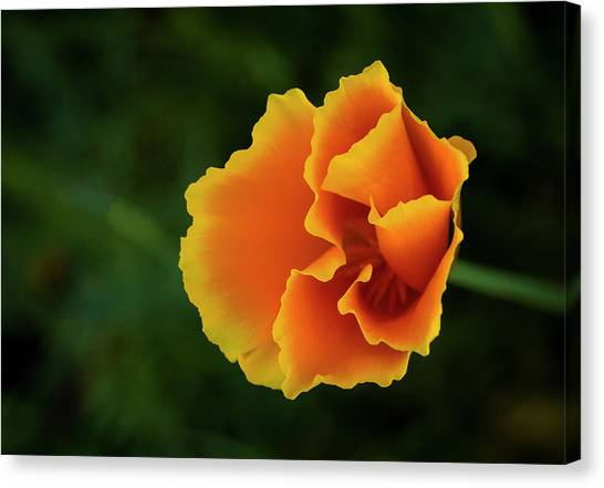 Poppy Orange Canvas Print