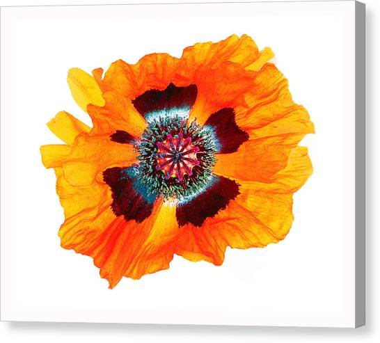 Poppy Pleasing Canvas Print