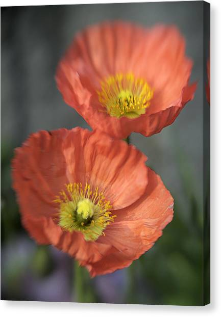 Poppys Canvas Print by Barry Culling