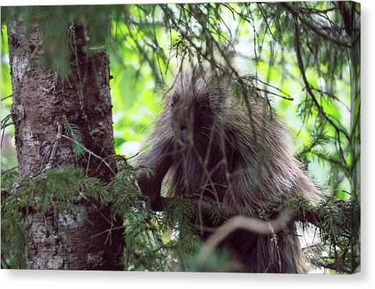 Minnesota Wild Canvas Print - Porcupine On A Tree In Juneau Alaska by Alex Grichenko