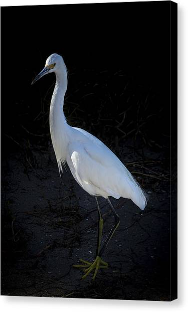 Snowy Egret Canvas Print - Portrait In White by Marvin Spates