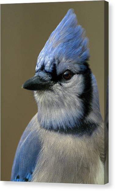 Portrait Of A Bluejay Canvas Print