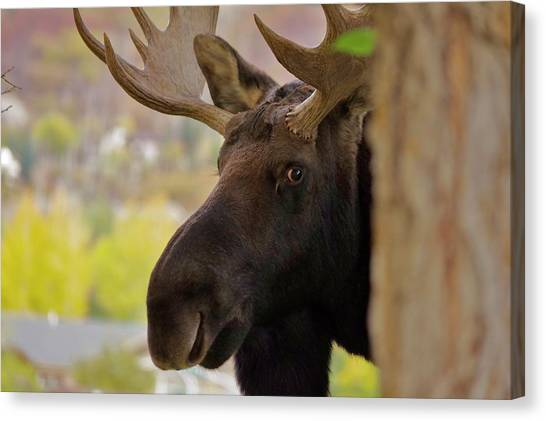 Portrait Of A Bull Moose Canvas Print