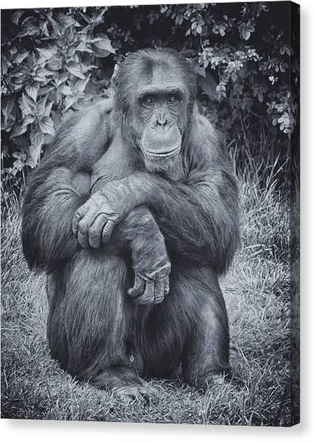 Portrait Of A Chimp Canvas Print