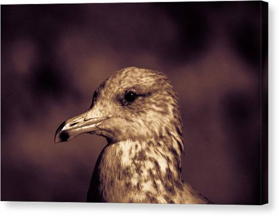 Portrait Of A Gull Canvas Print