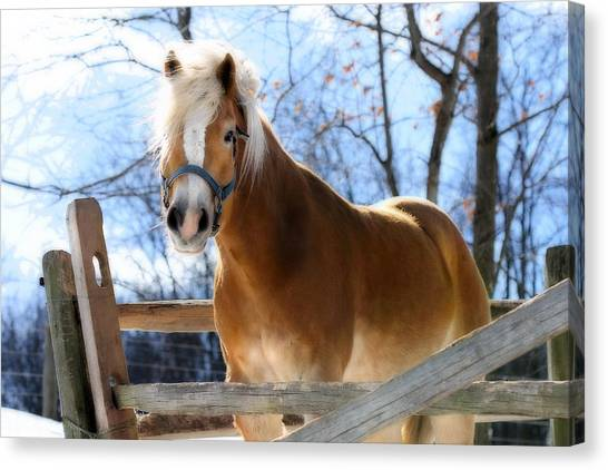 Portrait Of A Haflinger - Niko In Winter Canvas Print