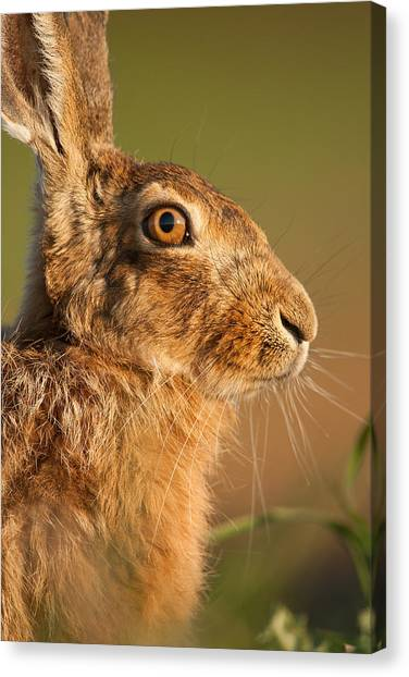 Portrait Of A Hare Canvas Print