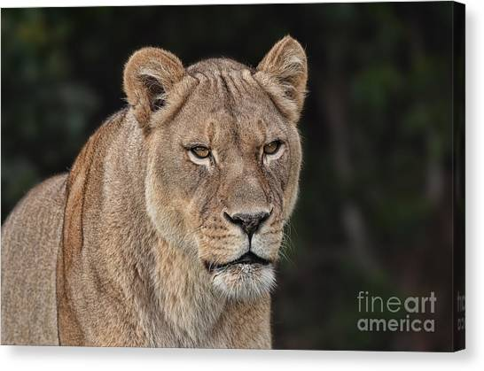 Portrait Of A Lioness II Canvas Print