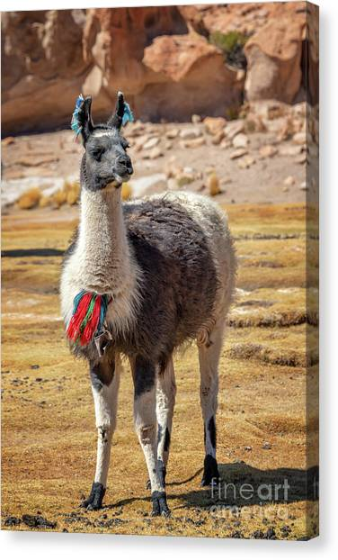 Andes Mountains Canvas Print - Portrait Of A Llama by Delphimages Photo Creations
