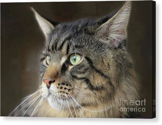 Main Coons Canvas Print - Portrait Of A Main Coon by Eva Lechner