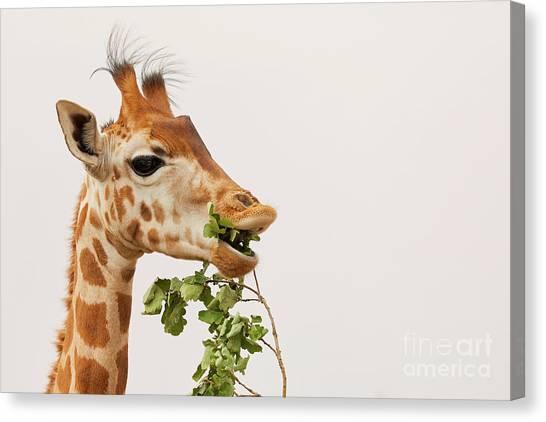 Canvas Print featuring the photograph Portrait Of A Rothschild Giraffe IIi by Nick Biemans
