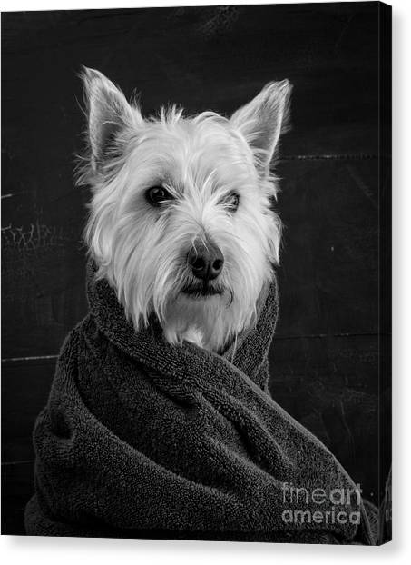 Humor Canvas Print - Portrait Of A Westie Dog by Edward Fielding