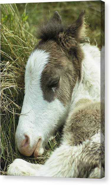 Maryland Horses Canvas Print - Portrait Of A Wild Pony Foal Sleeping by James L. Stanfield